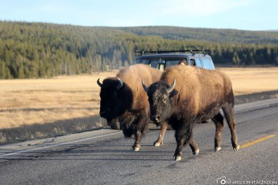 Die Bisons im Nationalpark