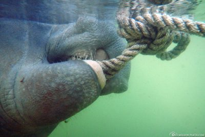 The Manatee nibbles at our anchor