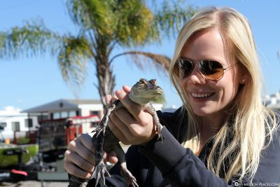 Holding a small alligator