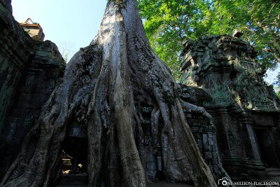 The overgrown Ta Prohm Temple