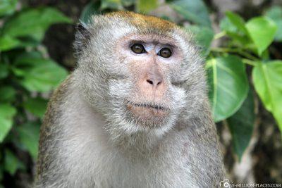 Die Affen an den Batu Caves