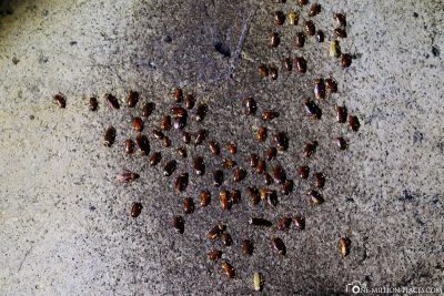 A lot of cockroaches