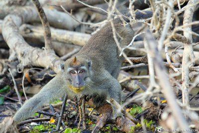 Affen auf Borneo