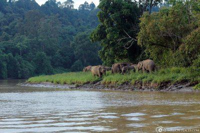Eine Gruppe von Urwaldelefanten am Kinabatangan-Fluss