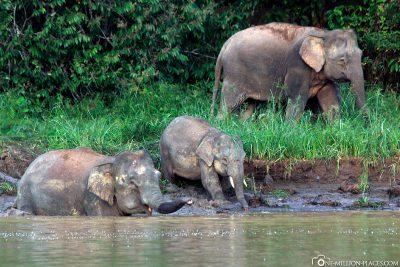 Die Urwaldelefanten gehen im Fluss baden