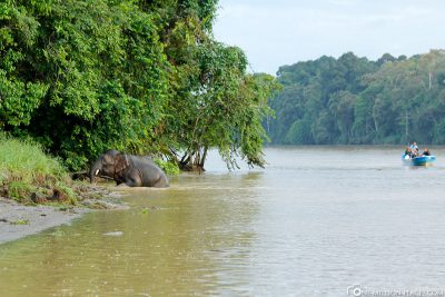 Elefant am Kinabatangan-Fluss