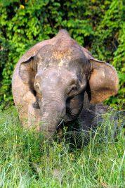Ein wilder Elefant in Borneo