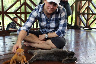Mit dem kleinen Silver Leaf Monkey spielen