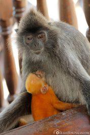 Eine Affenmutter mit Baby