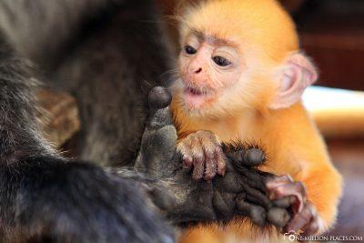 A Baby Silver Leaf Monkey