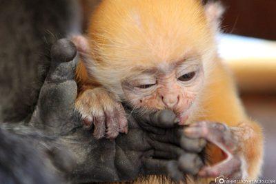 Ein Baby Silver Leaf Monkey
