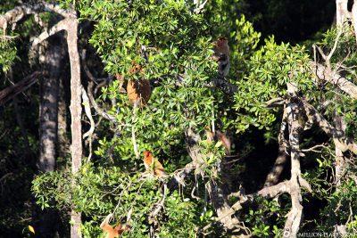 Die Nasenaffen kommen langsam aus dem Urwald