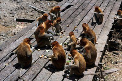 The food platform for the nasal monkeys