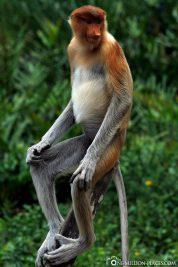 The nasal monkeys in Borneo
