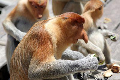 A Proboscis Monkey while eating
