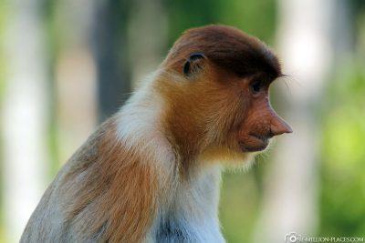 Ein Proboscis Monkey
