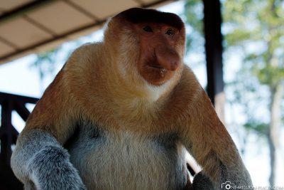 A nasal monkey
