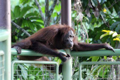 A wild orangutan