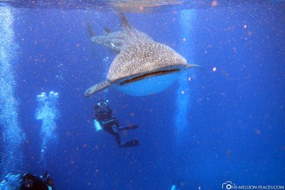 Whale sharks and divers