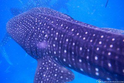 Walhaie an der Küste von Cebu Island