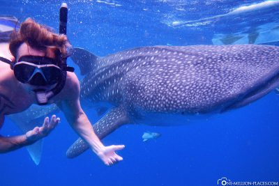 Snorkeling with whale sharks