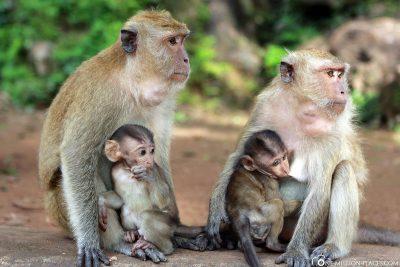 2 Makaken Affen mit Ihren Babys
