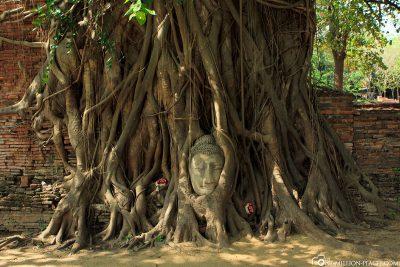 Der in einem Baum befindliche Buddha-Kopf