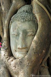 Buddha-Kopf im Baum