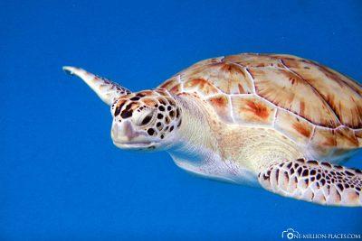 Schildkröten auf Barbados