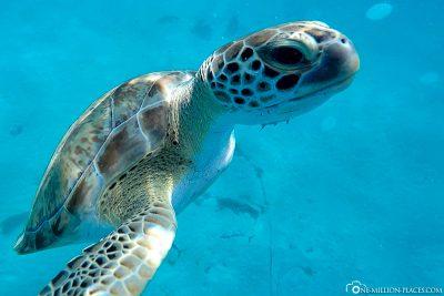 Schwimmen mit Schildkröten