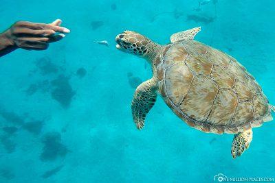 Das anfüttern der Schildkröten