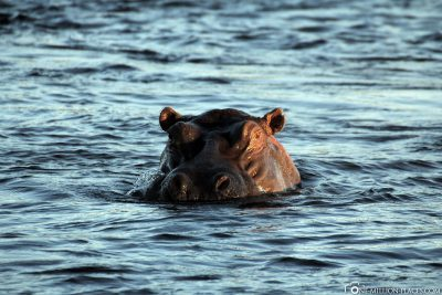 Ein Nilpferd im Sambesi