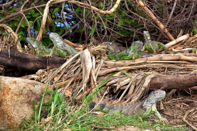 A group of iguanas by the roadside