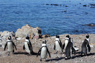 Die Pinguine in Bettys Bay