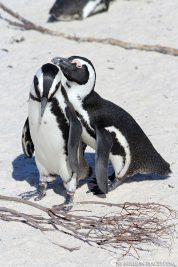 Die Pinguin Kolonie in Simons Town