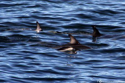 Delfine in der Camps Bay