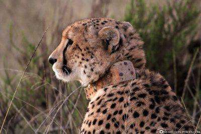 Cheetahs at Gondwana Game Reserve