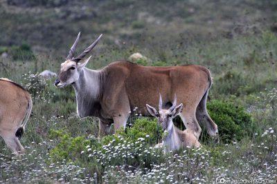 Animals in gondwana game reserve