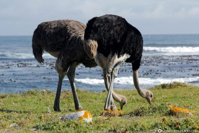 Ostriches in the Tafelberg National Park