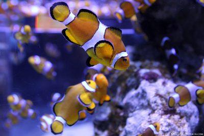 Nemo Fische im Two Oceans Aquarium