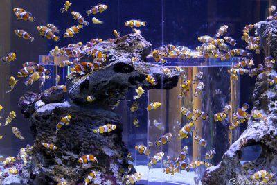 Ganz viele Nemo Fische