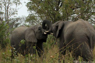 2 kämpfende Elefanten