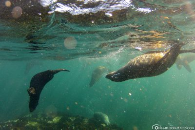 Snorkeling with sea lions at Duiker Island