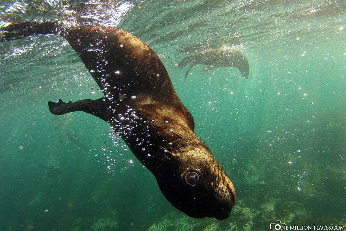 Swimming with Sea Lions, Hout Bay, South Africa, Seal Snorkeling, Africa, Travelreport, On Your Own