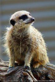 Vigilant meerkats