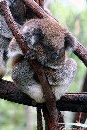 A koala in Gorge Wildlife Park