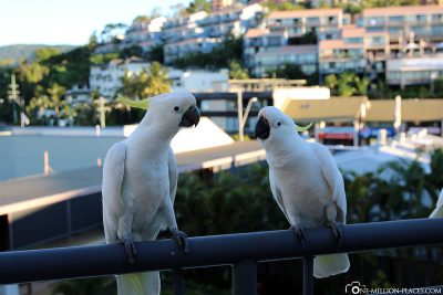Cockatoos on our balcony