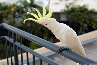 A white cockatoo on our balcony