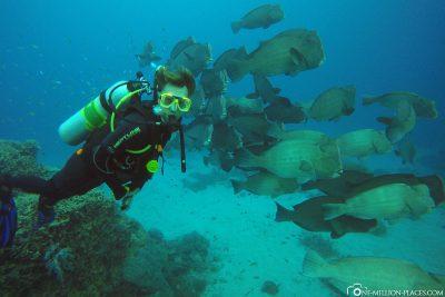 Eine Gruppe von Green Bumphead Parrotfish