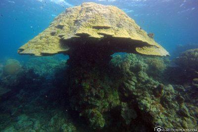 Ein Korallenpilz